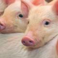 Antibiotic Use in Livestock Linked to Increases in Human Antibiotic-Resistant Infections