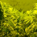 Mothers Pushing for Legalization of Medical Marijuana for Children