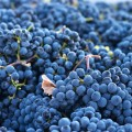 For Optimal Eye Health, Eat More Grapes
