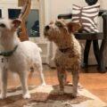 Cloning Elvis, Our Favorite Jack Russell Terrier – Part 1